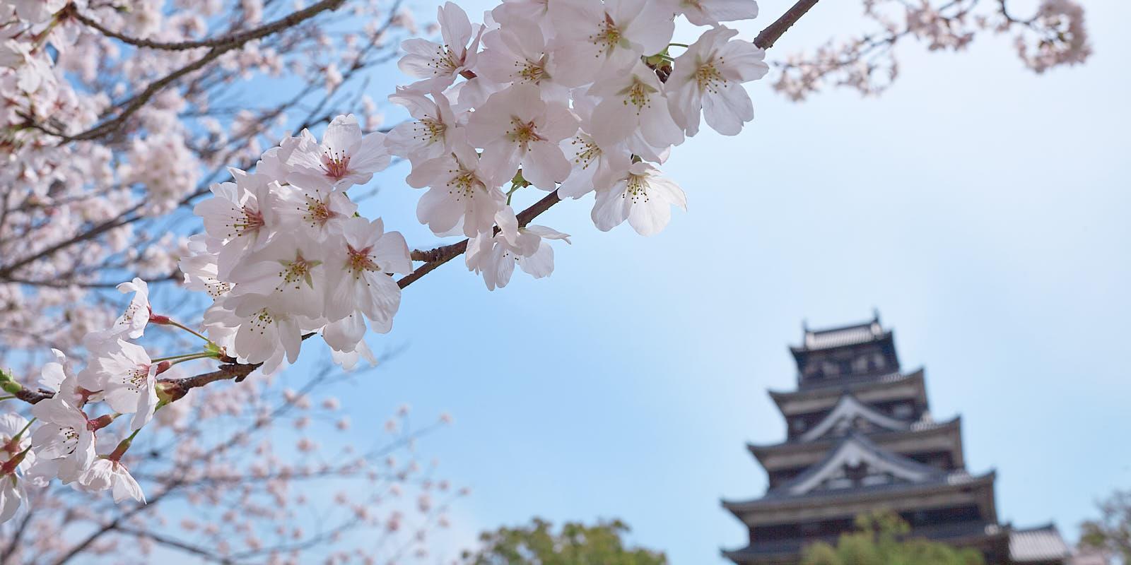 Le château d'Hiroshima sous les cerisiers japonais